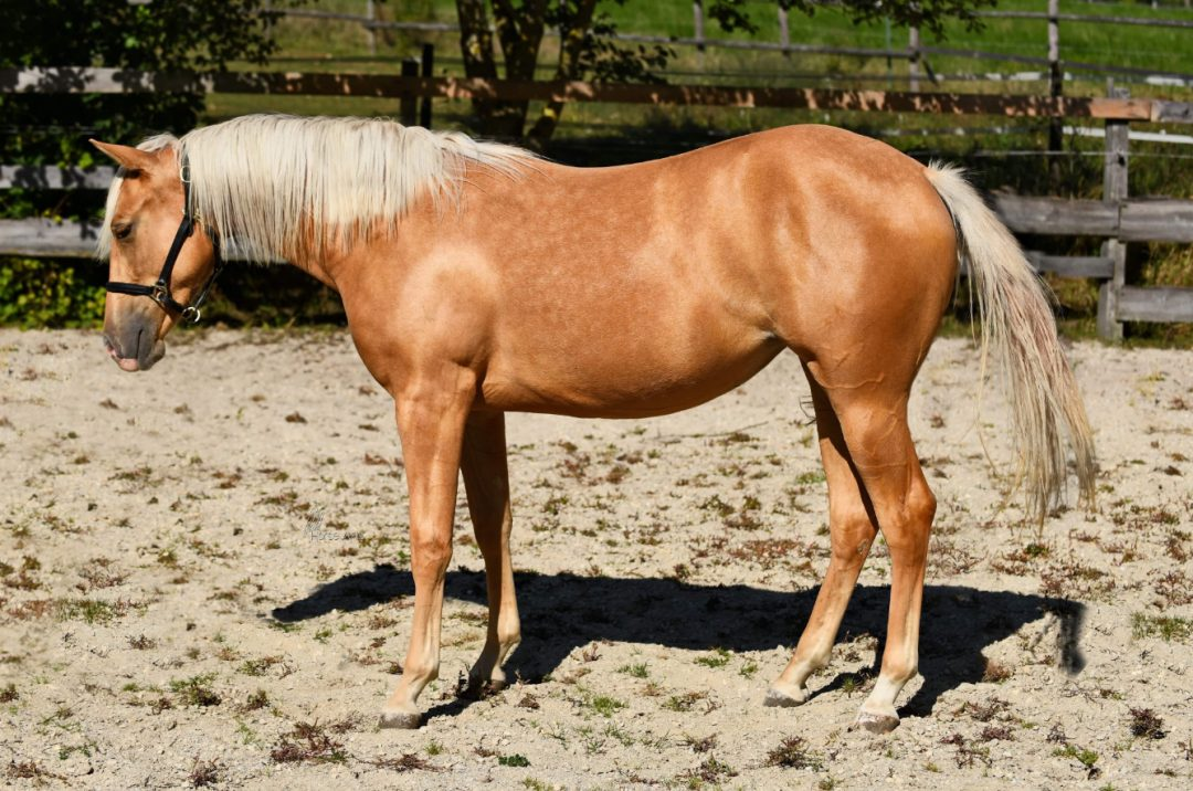 2018 AQHA Mare by Gunners Last Oak x Nu Chex To Cash daughter (sold in2020)