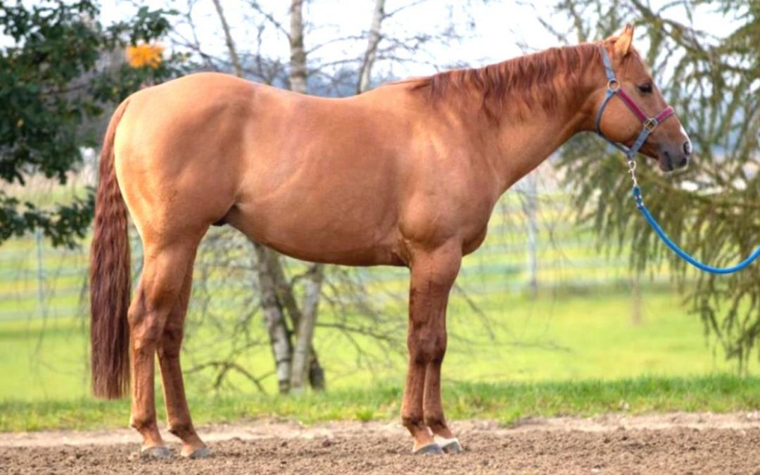 New In! 2016 AQHA Stallion by Dun It On The QT
