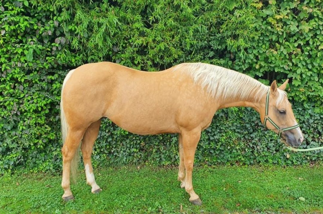 2008 AQHA Mare Shiney Top Lena (sold in2020)