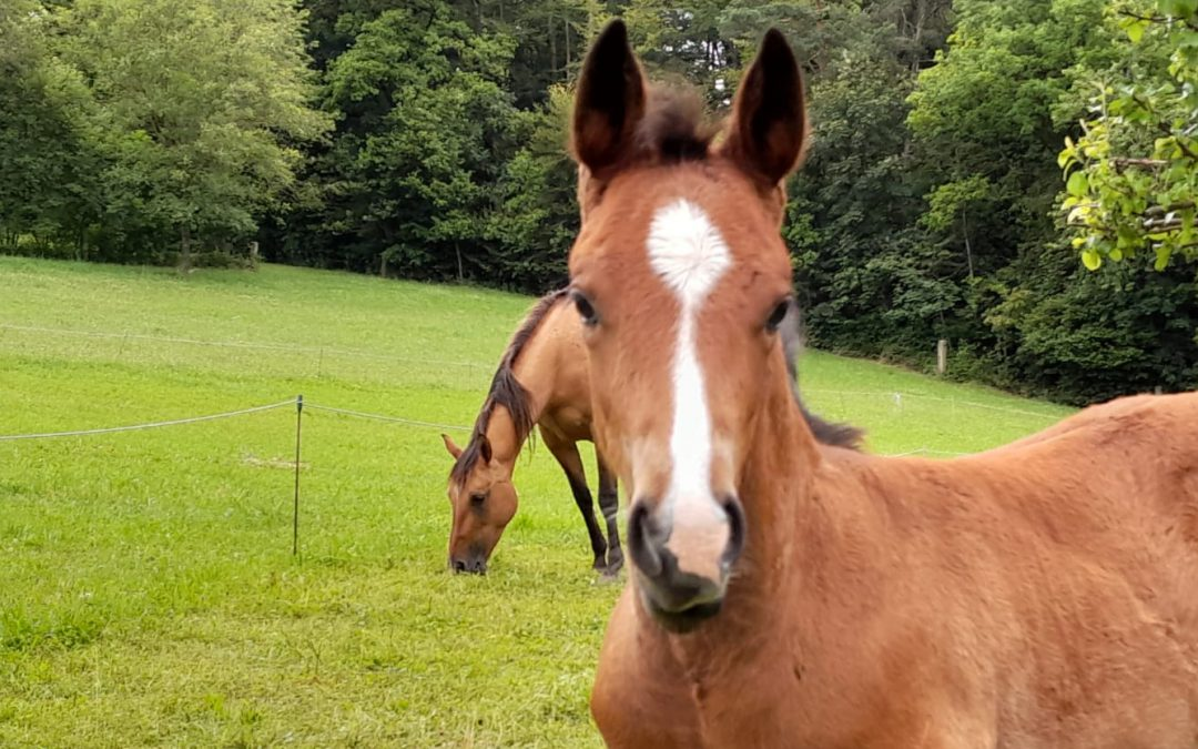 New In! Beautiful Stud Colt by Steppin On Sparks
