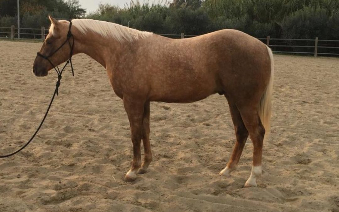 A new home for 2019 AQHA Gelding by Wimpys HighBid